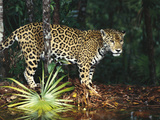 Jaguar (Panthera Onca) Belize Zoo, Belize Photographic Print by Gerry Ellis