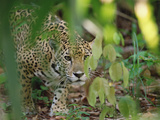 Jaguar (Panthera Onca) Slinking Through Vegetation, Belize Zoo, Belize Photographic Print by Gerry Ellis
