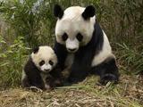 Giant Panda (Ailuropoda Melanoleuca) Adult, Wolong Nature Reserve, China Fotografie-Druck von Katherine Feng