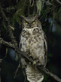 Great Horned Owl (Bubo Virginianus), Alaska Photographic Print by Michael S. Quinton