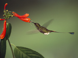 Booted Racket-Tail (Ocreatus Underwoodii) Hummingbird, Feeding at Flower, Ecuador Photographic Print by Pete Oxford