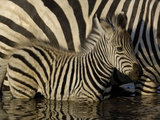 Burchell's Zebra (Equus Burchellii) Foal Standing Beside Mother in Waterhole, Africa Photographic Print by Pete Oxford