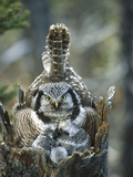 Northern Hawk Owl (Surnia Ulula) at Nest with Chicks, Alaska Photographic Print by Michael S. Quinton