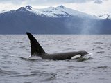 Killer Whale (Orcinus Orca) Surfacing Beneath Mountain Range, Inside Passage, Alaska Photographic Print by Konrad Wothe