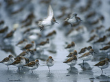 Western Sandpiper (Calidris Mauri) Flock Resting and Feeding,, Copper River Delta, Alaska Photographic Print by Michael S. Quinton