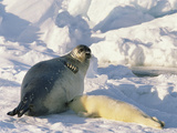 Harp Seal (Phoca Groenlandica) Mother Nursing Pup, Marine Eastern North America Photographic Print by Gerry Ellis
