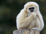 Portrait of a Lar Gibbon, Hylobates Lar Photographic Print by Joe Petersburger