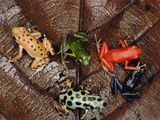 Strawberry Poison Dart Frog (Dendrobates Pumilio) Group Showing Color Variations A701 Photographic Print by Mark Moffett