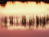 Silhouette of Grass Against Reflection of Sunset in Waterhole, Okavango Delta, Botswana Photographic Print by Gerry Ellis