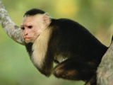 White-Faced Capuchin Monkey (Cebus Capucinus) Corcovado National Park, Costa Rica Photographic Print by Gerry Ellis