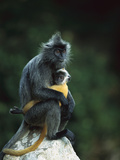 Crested Langur (Semnopithecus Cristatus) Female and Her Baby on a Rock Fotografiskt tryck av Cyril Ruoso