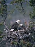 Bald Eagle (Haliaeetus Leucocephalus) Pair on Nest, Alaska Papier Photo par Michael S. Quinton