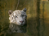 Melanistic or White Bengal Tiger (Panthera Tigris Tigris) Wading Through Water, Native to Asia Fotografiskt tryck av Cyril Ruoso