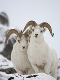Dall Sheep (Ovis Dalli) Rams, Yukon Territory, Canada Photographic Print by Michael S. Quinton