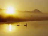 Trumpeter Swan (Cygnus Buccinator) Pair on Lake at Sunset, North America Photographic Print by Michael S. Quinton