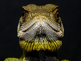Wood Lizard or Dwarf Iguana (Enyalioides Heterolepis) Close Up, Choco Rainforest, Ecuador Photographic Print by Pete Oxford