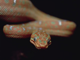 Emerald Tree Boa (Corallus Caninus) Juvenile, Amazon Basin Photographic Print by Gerry Ellis