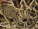 Eastern Diamondback Rattlesnake (Crotalus Adamanteus) Top-View Photographic Print by Gerry Ellis