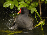 Common Moorhen (Gallinula Chloropus) Bathing, England Photographic Print by Pete Oxford
