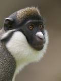 Lesser White-Nosed Monkey or Lesser Spot-Nosed Guenon (Cercopithecus Petaurista) Fotografiskt tryck av Cyril Ruoso