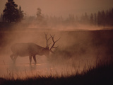 Elk or Wapiti (Cervus Elaphus) Feeding at Streamside with Smoke, Yellowstone, Wyoming Photographic Print by Michael S. Quinton