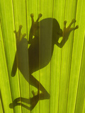 Chachi Tree Frog (Hyla Picturata) Silhouette, Choco Rainforest, Ecuador Photographic Print by Pete Oxford