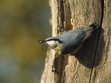 European or Wood Nuthatch (Sitta Europaea) on Tree Trunk, Europe Photographic Print by Konrad Wothe