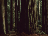 This Redwood Stand Is the Tallest Group in the World at over 350 Feet Photographic Print by Tim Laman