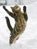 Domestic Cat (Felis Catus) Male Leaping in Snow, Germany Photographic Print by Konrad Wothe