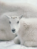 Mountain Goat (Oreamnos Americanus) Juvenile Resting Beside Mother Photographic Print by Gerry Ellis