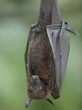 Large Flying Fox (Pteropus Vampyrus) Photographic Print by Cyril Ruoso