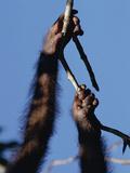 Orangutan (Pongo Pygmaeus) Hand and Foot Holding on to Branch, Borneo Photographic Print by Konrad Wothe