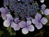 Close Up of Blue Hydrangea Flowers Fotografisk tryk af Joe Petersburger