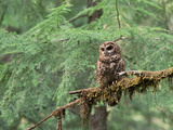 Northern Spotted Owl (Strix Occidentalis Caphus) Perching on Branch in Forest Photographic Print by Gerry Ellis