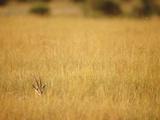 Thomson's Gazelle (Gazella Thomsoni) Hiding in Tall Grass, Masai Mara National Reserve, Kenya Photographic Print by Gerry Ellis