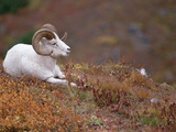 Dall's Sheep (Ovis Dalli) Male Resting on a Hillside Covered with Autumn Foliage, Alaska Photographic Print by Michael S. Quinton