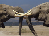 African Elephant (Loxodonta Africana) Bulls Engaged in Greeting Ritual, Amboseli, Kenya Photographic Print by Gerry Ellis