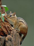 Eastern Chipmunk (Tamias Striatus) on Tree Stump, North America Photographic Print by Gerry Ellis