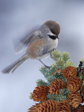 Boreal Chickadee (Parus Cinctus) Perching on a Tree, Alaska Photographie par Michael S. Quinton