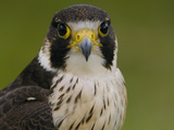 Peregrine Falcon (Falco Peregrinus), Ecuador Photographic Print by Pete Oxford