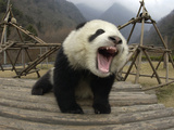 Giant Panda (Ailuropoda Melanoleuca) Vocalizing and Playing on Structure Photographic Print by Katherine Feng