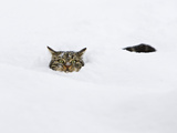 Domestic Cat (Felis Catus) in Deep Snow, Germany Fotografiskt tryck av Konrad Wothe