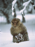 Barbary Macaque (Macaca Sylvanus) Male in Snow, Middle Atlas Mountains, Morocco, Photographic Print