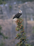 Bald Eagle (Haliaeetus Leucocephalus) Calling from Perch in Tree Top, Alaska Photographic Print by Michael S. Quinton
