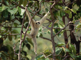 White-Handed Gibbon (Hylobates Lar) Hanging, Northern Thailand Photographic Print by Gerry Ellis