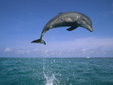 Bottlenose Dolphin (Tursiops Truncatus) Leaping Out of Water, Caribbean Photographic Print by Konrad Wothe
