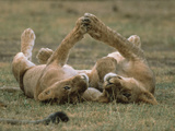 African Lion (Panthera Leo) Two Cubs Playing, Serengeti National Park, Tanzania Photographic Print by Gerry Ellis