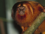 Golden Lion Tamarin (Leontopithecus Rosalia) in Tree, Atlantic Forest, Ilheus, Bahia, Brazil Photographic Print by Mark Moffett