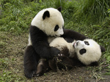 Giant Panda (Ailuropoda Melanoleuca) Two Cubs Playing, Wolong Nature Reserve, China Photographic Print by Katherine Feng