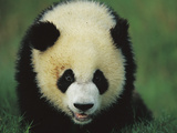 Giant Panda (Ailuropoda Melanoleuca) Endangered, of a One Year Old Cub Fotografiskt tryck av Cyril Ruoso